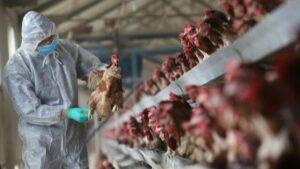 Japonya'da kuş gribi salgını bir eyalete daha sıçradı