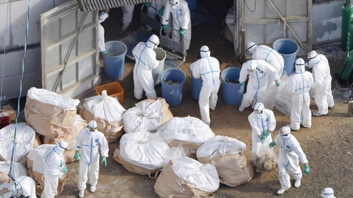 Japonya'da kuş gribi salgını bir eyalete daha sıçradı #2