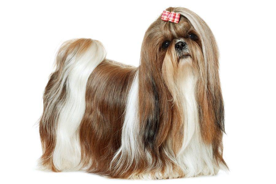 Shih Tzu Köpeği ve Hakkındaki Bilgiler
